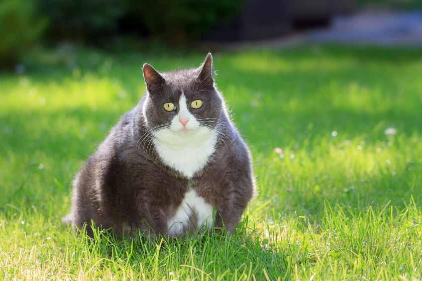 obesite-animale